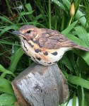 Stoneware Thrush on post