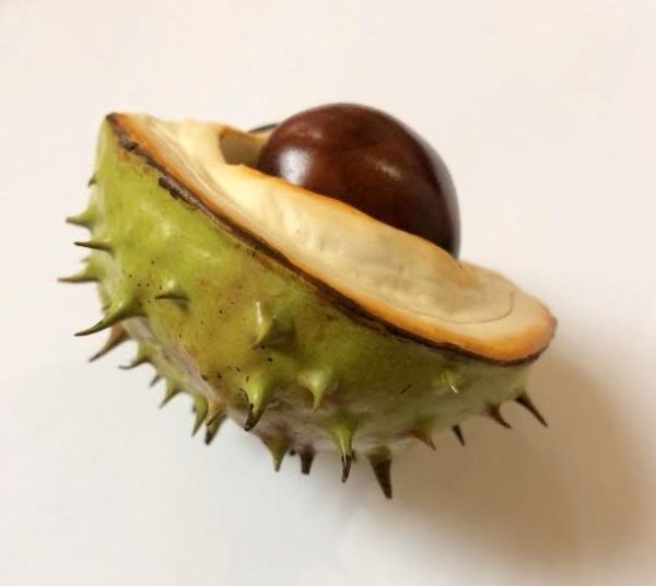 Horse Chestnut Lid and Two Nuts