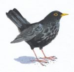 Original watercolour Blackbird