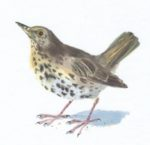 Original Watercolour of Garden Thrush