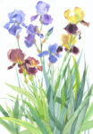 Original watercolour Iris Border