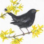 Blackbird on Forsythia