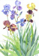 Original watercolour Iris Border