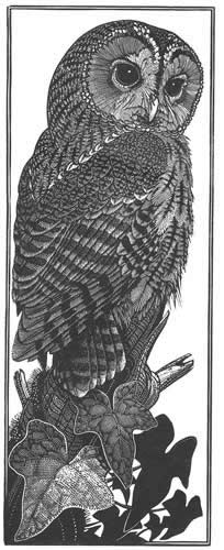 Wood Engraving Tawny Owl