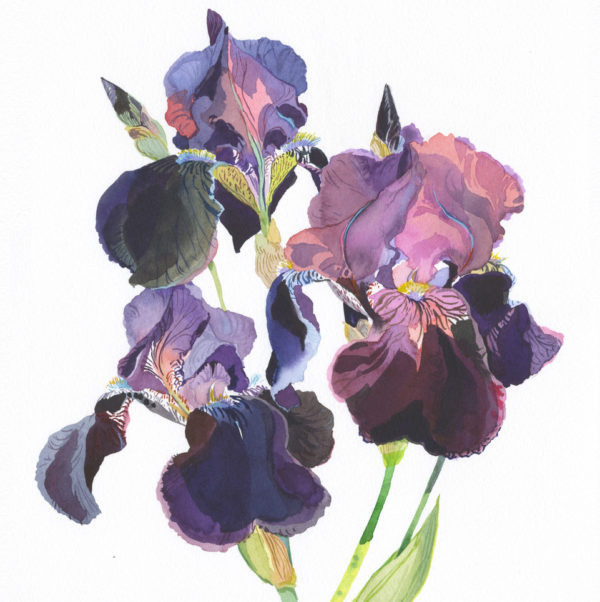 Original watercolour Deep Purple Iris