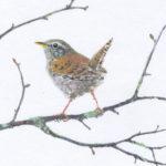 Original Watercolour Wren